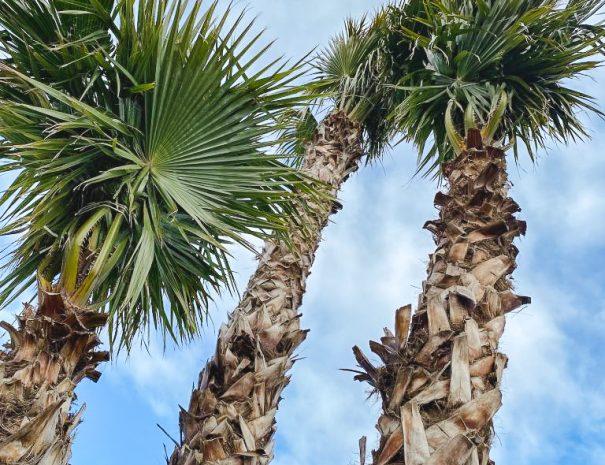 1400_palmiers_washingtonia-768x1024